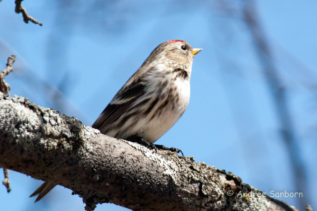 Common Redpoll (2 of 22).jpg