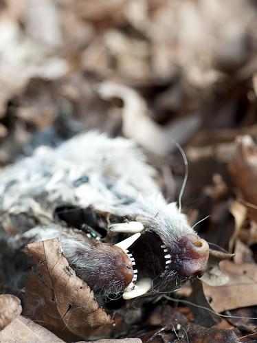 Needham Opossum: Day 29