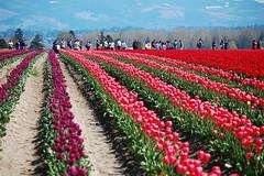 Crowds of Admirerers (JoelleW) Tags: flowers colorful tulips blooms skagitvalleytulipfestival tulipfestival brilliantcolors skagitcounty tulipfields