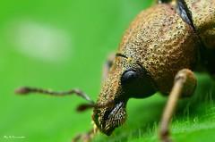 ~Head of a Weevil~ (Eddie The Bugman) Tags: nottingham macro clifton weevil coleoptera extensiontubes nikkor60mmmicro sb900 nikond7000 edwardnurcombe wildlifeonthegothebugman
