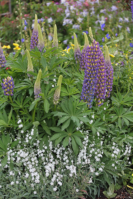lupinus_thomas_church_spiking