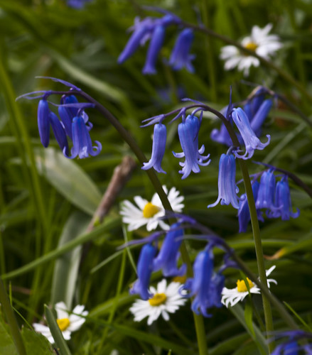 Bluebells and Daisies - Copyright R.Weal 2011