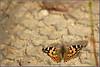 Painted Lady - נמפית החורשף (Eran Finkle) Tags: closeup butterfly butterflies lepidoptera paintedlady vanessacardui nymphalidae פרפר papilionoidea פרפרים rhopalocera nikond80 תקריב קלוזאפ פרפראים tokina80400mmf4556atxd נמפיתהחורשף נימפיתיים נימפיתהחורשף
