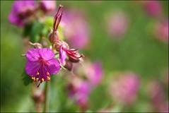 Springtime Garden (Andy Watson1) Tags: uk pink macro green canon garden spring purple bokeh lincolnshire lincoln 60mm picnik waddington
