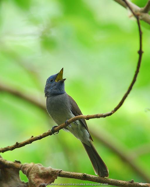 黑枕藍鶲 雌鳥 鳴叫 2