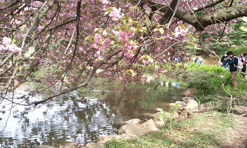 Cherry Blossom dipping into the Pond