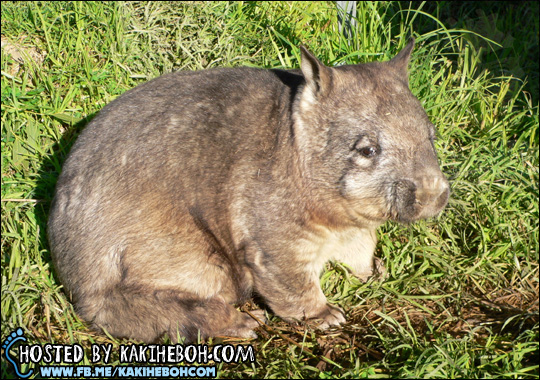 Northern-Hairy-Nosed-Wombat