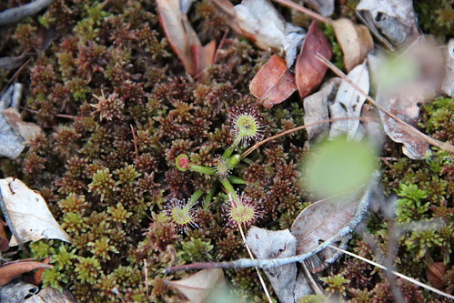 Drosera rotundifolia in the Zurich Bog