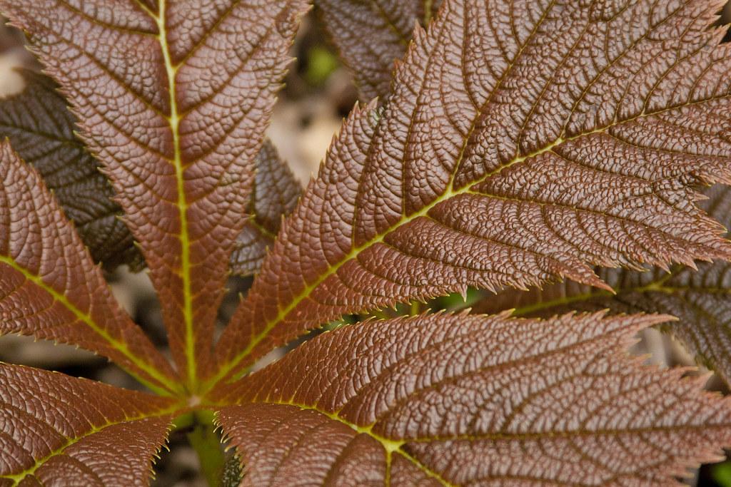 Rodersia Foliage v2