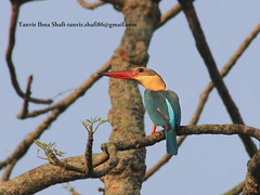 Stork-billed Kingfisher (tanvir_shafi (back to wide-angle-wishing for Ultra) Tags: wild bird nature wildlife birding safari kingfisher storkbilledkingfisher f456 storkbilled canoneosef70300mmisusm1000drebelxs bangladeshpredatorhunter