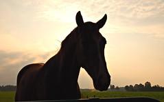 horse @ sunset no 33 (serni) Tags: sunset horse silhouette backlight zonsondergang paard serni