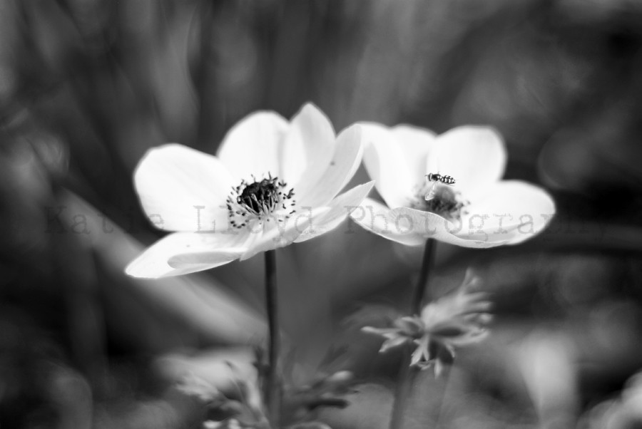 Two Anemones - B&W