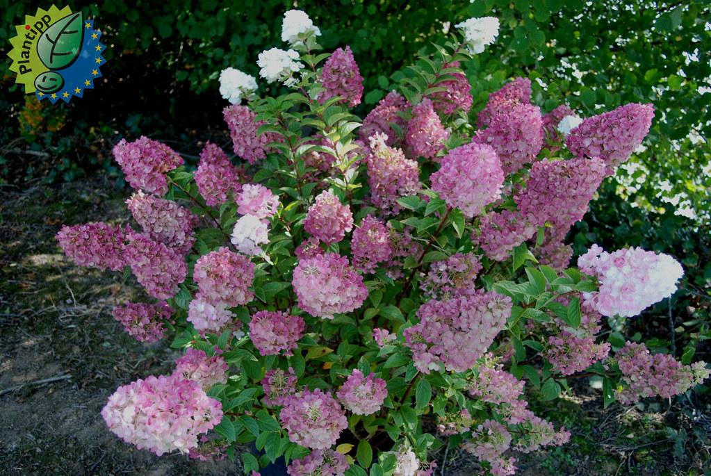 Hydrangea paniculata Sundae Fraise \'rensun\'