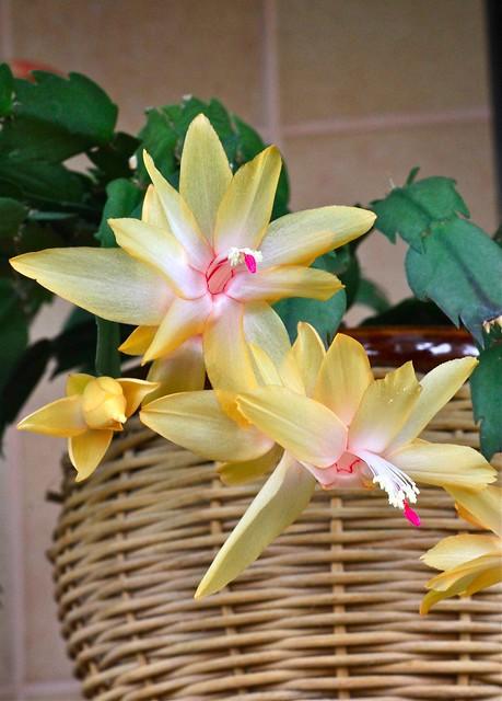 Schlumbergera x reginae (S. orssichiana x S. truncata) - Christmas Cactus