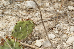 Prickly pear (Opnutia sp.) at Independence Creek, SW Texas (Dallas Krentzel) Tags: ranch new old red cactus food orange white plant southwest west flower green leaves fruit creek cacti dead spiral death leaf succulent big stem bush sand rocks texas desert flat bend teal smooth pad evolution growth oasis sp age pear succulence bud spine westtexas opuntia plantae independence dying thorn biology prickly development arid adaptation budding southwestern nopal whorl morphology nopales photosynthesis fruiting nopalitos glochids xeric cladode cylindropuntia redspines orangespines cactoideae platyclade opuntiodeae