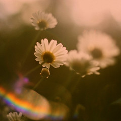(sommerpfuetze) Tags: light sun flower color nature square spring rainbow blossom lensflare marguerite margeriten