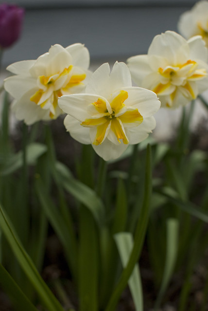 front daffodils