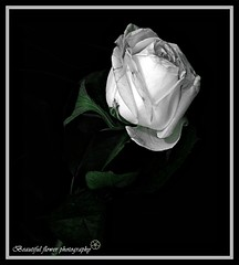 hope without pain[Explore] (Beautiful flower*) Tags: white black flower green beautiful rose paper hope pain branch little you sister background explore thank wisdom without   the     i