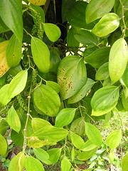 Algal leafspotblack  pepper 3 (Scot Nelson) Tags: black pepper piper cultivation nigrum