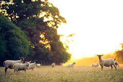 kent countryside (andrew evans.) Tags: lighting morning trees light summer england sun nature sunrise landscape golden countryside kent nikon bokeh f2 sunrays d3 135mm