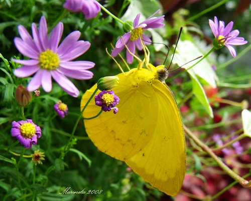 Mimosa Yellow Butterfly