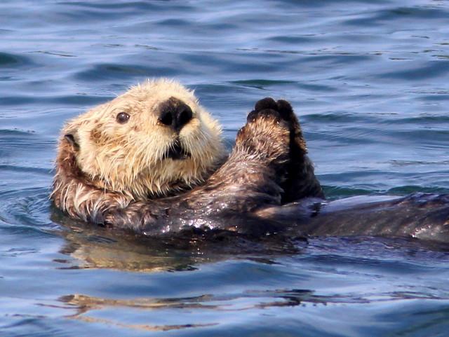 Sea Otter 20110622