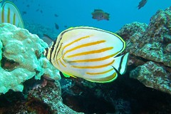 posed (BarryFackler) Tags: animal wildlife creature nature biology organism sealife marine chaetodonornatissimus ornatebutterflyfish vertebrate marinelife honaunau fish kikakapu cornatissimus butterflyfish pacificocean water aquatic sea saltwater diver sealifecamera 2016 bigisland kona hawaii scuba island coralreef underwater barronfackler ecology fauna seacreature marinebiology hawaiidiving pacific ocean tropical westhawaii ecosystem reef undersea outdoor polynesia marineecology being southkona coral zoology konadiving bay dive sandwichislands honaunaubay marineecosystem hawaiicounty hawaiiisland barryfackler bigislanddiving hawaiianislands