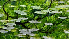 seeing is not always believing ... (Edinburgh Nette ...) Tags: mull aros september16 lilies leaves reflections shadows ash water floating abstracts ribbet