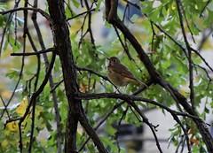 Hermit (marensr) Tags: hermit thrush bird nature chicago waters school green trees