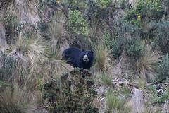 Wild Spectacled (Andean) Bear looking up (Paul Cottis) Tags: mammal cayambe papallacta ecuador moor paulcottis august 2016 bear spectacled andean 9