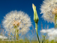 Parachute Seeds (jim_david) Tags: blue wild summer sky white plant flower detail macro nature floral grass weather closeup landscape botanical fly spring stem weed montana soft natural wind background touch stock grow meadow seed fluffy fresh blow fluff dandelion missoula growth seedhead simplicity bloom environment pollen wish elegant breeze simple fertility reproduction herb herbal parachute reproduce pollenate posterity umbel waterworkshill westernsalsify