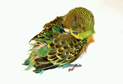sleepy little bird (BigMs.Take) Tags: birds feathers sleepy budgerigar plumes babybirds juvenilebird nikond300 flightbird naturelover canaryparrot shellparrot warblinggrassparakeet zebraparrot scallopparrot