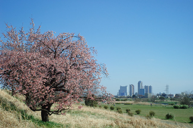 河川敷の早咲き桜
