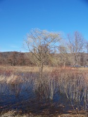 Willow standing in a vernal pool (hickamorehackamore) Tags: statepark blue sky river march connecticut meadow ct willow connecticutriver vernalpool earlyspring peepers latewinter salix haddam haddammeadows windinthewillow