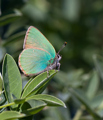 First Green Hairstreak of 2011 (Greenwings Wildlife Holidays) Tags: green butterfly insect greek lepidoptera greece rodos rhodes hairstreak greenhairstreak greenwings mattberry callophrysrubi photocontesttnc11 greenwingsco