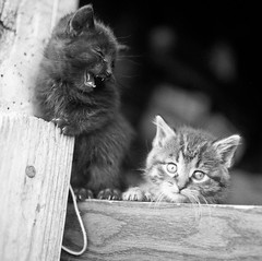 Kittens Whining (mat4226) Tags: cats 6x6 cat mediumformat iso3200 kitten kitty 11 120film hasselblad mainecoon 500c delta3200 ilford f28 catshow xtol 80mm carlzeiss highasa pushprocessing 52project thecatwhoturnedonandoff the52project believeinfilm