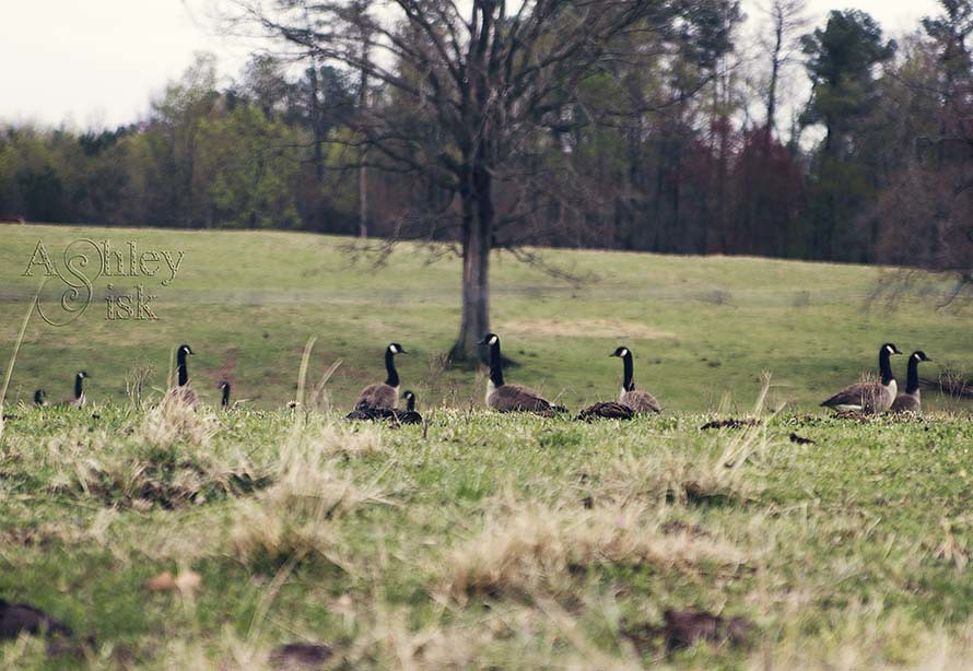 Ducks RS