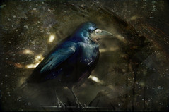 Crow Dreaming (onceawildchild) Tags: march spring dreaming rook 2010 playingwithphotoshop corvidae