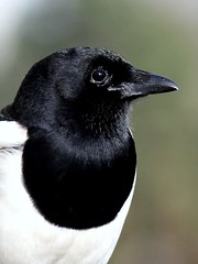 Mr. Magpie: Dressed to Impress (Ger Bosma) Tags: bird dutch europe european thenetherlands extremecloseup magpie marica picapica gazza urraca ekster elster mrmagpie gazzaladra closeupdetail extremedetail img1450a