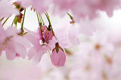 Primavera d'intorno (*Les Hirondelles* Photography) Tags: pink flowers light italy flower macro primavera canon garden spring italian poetry italia dof blossom bokeh quote air softness rosa naturallight explore bloom getty poesia bud fiori shining luce cherrytree aria gettyimages giardino italiano pinkflowers ciliegio leopardi bocciolo 100mm28 fiorirosa fioritura citazione lucenaturale tenerezza explored cherrytreeblossom giacomoleopardi leshirondellesphotography