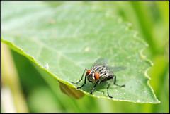 Sarcophaga sp. -   (Eran Finkle) Tags: macro closeup sarcophaga fleshfly sarcophagidae raynoxdcr250   fleshflies