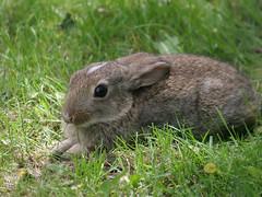 [フリー画像] 動物, 哺乳類, ウサギ科, 兎・ウサギ, 201104081100
