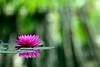 Lily (peasap) Tags: california pink reflection green water pond sandiego bokeh ripple lilies balboapark anawesomeshot