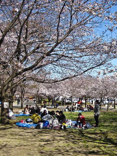 Hanami at Sakura