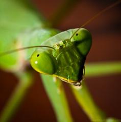 Portrait of a Mantis (johnsarelli) Tags: brown macro green closeup canon mantis insect thailand praying 40d kneler ef100mmmacrof28