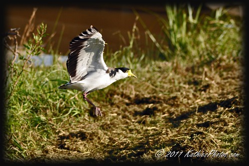96-365 Masked Wing Plover coming in for a landing
