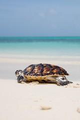 Liberada (el pequeo ojo) Tags: island venezuela playa caribbean isla tortugas losroques caribe bonefish catchandrelease archipilago pescadeportiva pezratn