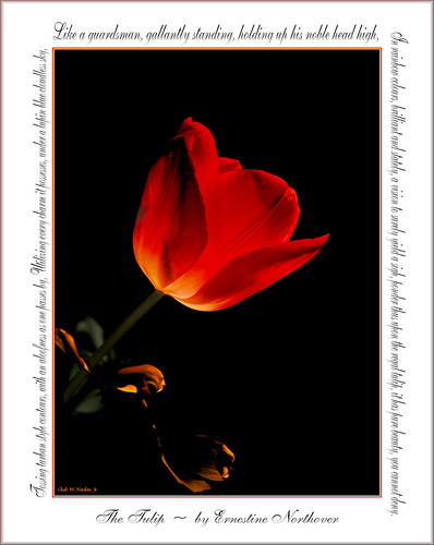 The Tulip by Olde Towne Photos (Clyde)