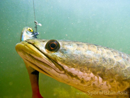 Snakehead upclose