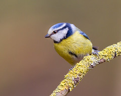 Plain and Simple (Andrew Haynes Wildlife Images) Tags: bird wildlife bluetit warwickshire canon7d ajh2008